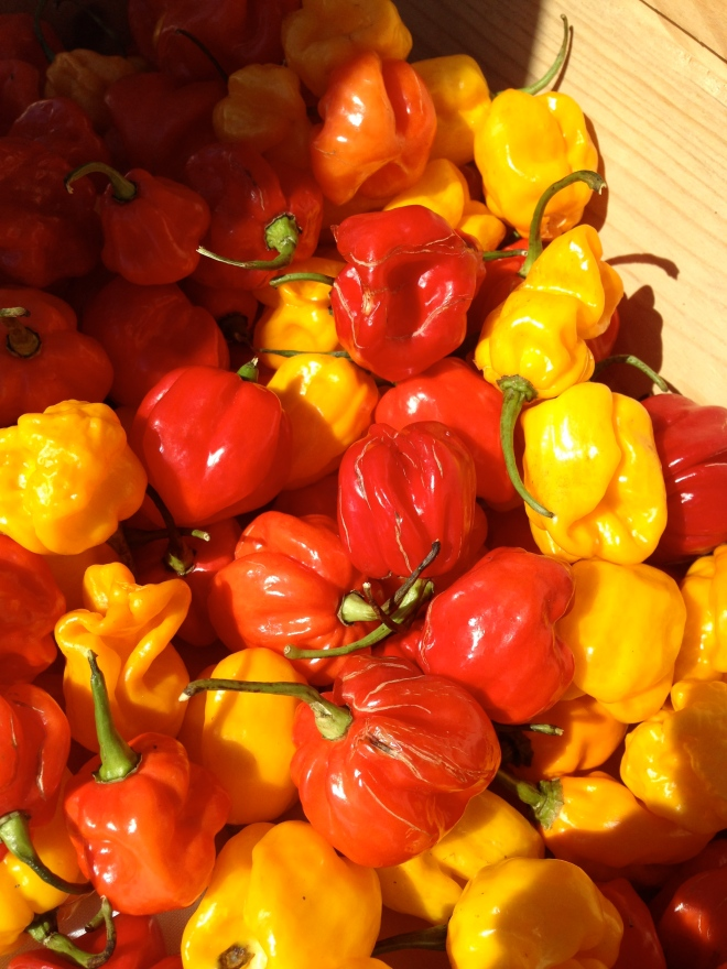 Spicy peppers were in abundance at PepperFest.